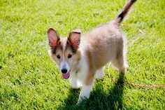 zoey, shetland sheepdog. #splendidsummer
