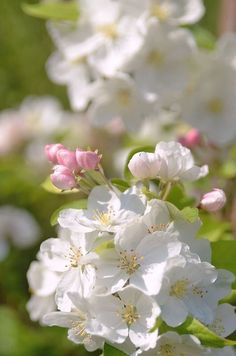 Spring Is Here, Spring Time, Hello Spring, Pretty Flowers, White Flowers, Rosa Pink, Spring Blossom, Flowering Trees, Spring Flowers
