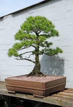 Japanese White Pine Bonsai Tree (Pinus parviflora) by Steve Greaves