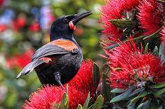 This is the Saddleback bird (Philesturnus carunculatus), a species of… New Zealand South Island, Kiwiana, New Zealand Travel, Reptiles And Amphibians, Bird Species, Wild Birds, Bird Watching, Bird Feathers, Beautiful Birds