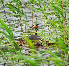 Great Crested Grebe: It is an elegant waterbird with ornate head plumes.   A lucky spotting of the bird's nest!