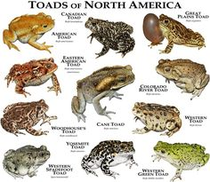 Fine art illustration of various species of North America's toads Toads of North America Art And Illustration, Art Illustrations, Reptiles And Amphibians, Mammals, Types Of Frogs, Frog And Toad, Mundo Animal, Wildlife Art, National Geographic