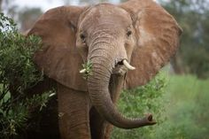 20 Interesting African Elephant Facts for Kids - Tail and Fur Elephant Facts For Kids, African Elephant Facts, African Forest Elephant, Elephant Images, Wild Elephant, Asian Elephant, Elephant Love, Elephant Eating, All About Elephants