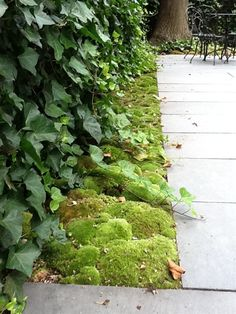 Moss can tolerate extremes in temperature and moisture levels. Even during periods with severe cold, moss, unlike grass, remains a dark green color. Excessive heat or lack of rainfall, also have no permanent effect. During these difficult growing periods, moss plants simply go dormant and lose some of their lush green appearance until a summer shower quickly restores it.