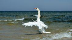 Birds nature ocean swans (1920x1080, nature, ocean, swans)  via www.allwallpaper.in