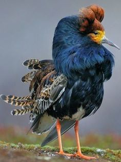 The Blue Ruff Bird - photo; the Varanger Peninsula - Northern Norway.
