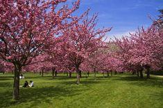 7 cidades para se encantar com as cerejeiras em flor | VEJA.com Minecraft, Sidewalk, Flowers, Inspiration, Japanese Cherry Tree, Airplane Mode, Cherry Blossom, Natural Phenomena, Orchards