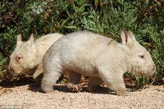 Rare albino wombats.