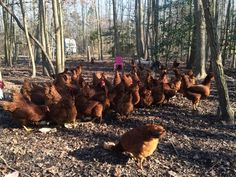 red hens 6mos