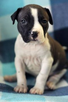 10/14/15-Emille Dog • Pit Bull Terrier • Baby • Male • Small Humane Society of Northeast Texas Longview, TX