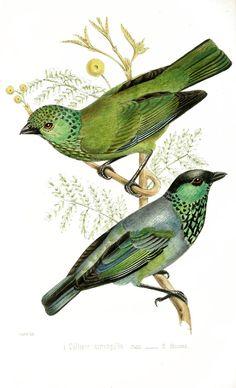 Vintage Illustration - Colorful Birds - The Graffical Muse Vintage Bird Illustration, Illustration Art, Vintage Illustrations, Nature Prints, Bird Prints, Vintage Birds, Vintage Art, Design Vintage, Vintage Images