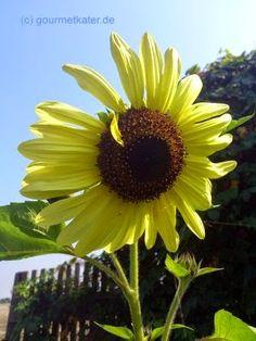 Gourmetkaters Garten: Bilder aus meinem Garten... Sonnenblume #flower #gardening