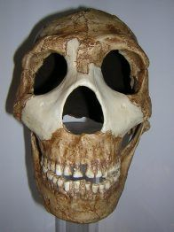 Cast of the skull of Homo neanderthalensis Amud 1, discovered in 1961 in Amud, Israel. Its age is 45,000 years old. The features and skull shape – particularly the brow ridge, nose, jaw and back of the skull – of this Middle Eastern Neanderthal are much less robust and the skull bone thinner compared to European specimens such as La Chapelle-aux-Saints. This is probably due to the Middle Eastern Neanderthal population having evolved adaptations to the warmer climate.