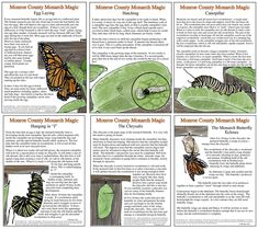 Teachers and home-schoolers, click on the link to download free posters on the life cycle of Monarch Butterflies.