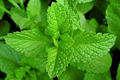Plants to repel mosquitoes - Mint, basil, lemon balm, lemon thyme, citronella grass, catnip (likely to have stray cats then?).
