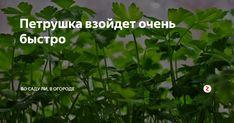 """Петрушка- растение """" тугодум"""". Очень долго и не дружно всходит. Это из за того , что в оболочке семян много эфирных масел и они защищают семя от влаги. Отлично, когда есть несколько кустиков корневой петрушки. Корневая петрушка, если ее накрыть в зиму , перезимует с зелеными листиками и по весне очень быстро отрастет. Да и в горшке на кухне корни дают прекрасную зелень всю зиму! Я очень"""