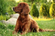 Growth chart Irish Setter : Its adult weight, the evolution of its weight during its growth. All the information you need to control the weight of your Irish Setter. View the weight chart of Irish Setter Golden Retriever, Labrador Retrievers, Big Dogs, Cute Dogs, Top 10 Dog Breeds, Friendly Dog Breeds, Irish Setter Dogs, Setter Puppies, Pointer Puppies