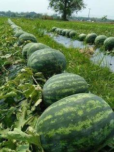 Fruit Plants, Fruit Garden, Edible Garden, Fruit Trees, Vegetable Garden, Hydroponic Gardening, Container Gardening, Growing Vegetables, Fruits And Vegetables