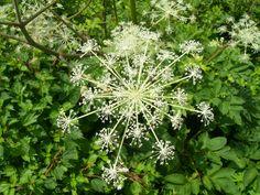 ウドの花。
