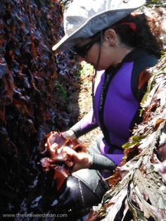 Harvesting Dulse (Palmaria palmata) off the coast of Maine | Larch Hanson, The Seaweed Man