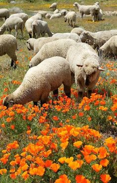 Sheep amongst the poppies