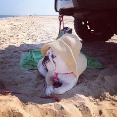 ❤ Beach Bull Cutie. And thanks to that stunning sun hat ~ keeping the sun off that cute little nogging ! ❤ Posted on Baggy Bulldogs