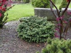 Abies balsamea 'Nana' This specimen is approx. 12 years of age.  | Photo by Bill Barger.  Planted behind the garage along path on east side near purple magnolia.