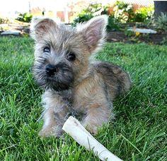 Cairn Terrier #puppy