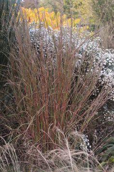 (I love this planting - seeing colour through the grasses) Schizachyrium scoparium 'Cairo' Landscape Elements, Landscape Design, Plant Design, Garden Design, Prairie Garden, Gardening Books, Ornamental Grasses, Autumn Garden, Landscaping Plants