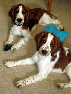 Welsh Springer Spaniel dogs Fox River Craqnberry Bounce (Left) & Fox River Queen Anne's Lace (Right). Photo from WSCCA Photo Showcase.