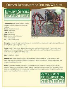 Red swamp crayfish/crawfish/crawdad, Louisiana red swamp, red crayfish, mudbug, by the Oregon Department of Fish and Wildlife