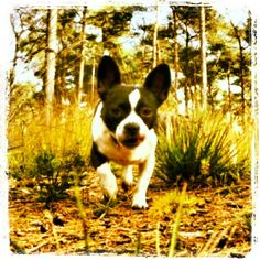 french bulldog jack russell mix vaeno french bulldog x jack russel terrier mix petsie 7664