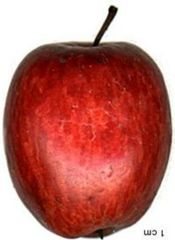 An old Massachusetts apple variety rated for its flavor. English Cider, Apple Varieties, Farmer, Pear, Berries, Fruit, Orchards, 17th Century, Massachusetts