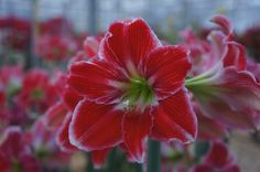 Royal Colors Amaryllis – Google+