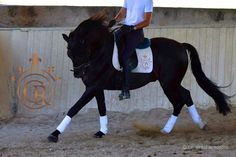 Christmas Gift Idea: Give someone you love a riding experience on top PRE Andalusian horses in Spain. This is our beautiful black PRE Andalusian stallion Alejandro.