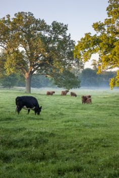 Cattle in the park in July at Wimpole Estate, Cambridgeshire