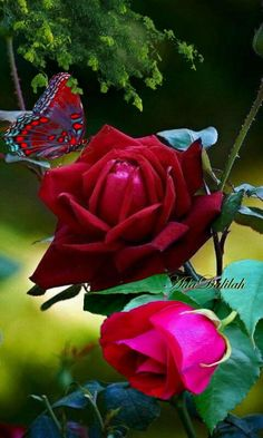 Beautiful Roses, Beautiful Flowers, Butterfly Art, Butterflies, Pretty Wallpapers, Photomontage, Creative Art, Pink Roses, Planting Flowers