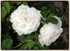 White Damask Roses