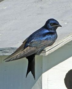 Purple Martin.  Awesome birds the way they float and swoop in the hunt for dragonflies, their favorite food.  We have a large martin house out back.