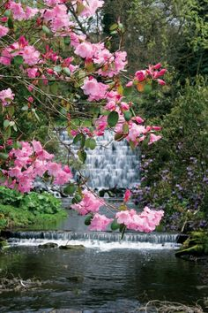 Pink bloom from Rhododendron plants in the Himalayan Garden- at Harewood (Yorkshire, U.K.)