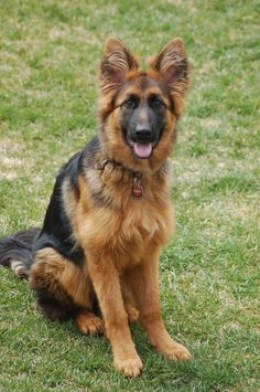 Long hair - Long coat - Stock hair ..etc - German Shepherd Dog Forums