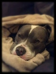 Snuggle time--what an adorable pibble!!!!!
