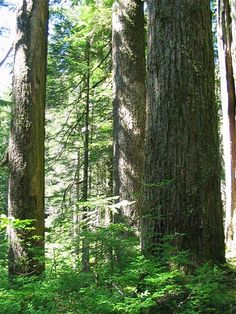 Old growth trees in Oregon