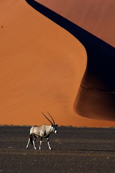 Africa | Oryx walking in the dunes at Sossulvlei. Namibia | ©Michel Renaudeau