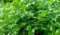 Picture of fresh plant of organic parsley in vegetable garden - petroselinum crispum stock photo, images and stock photography. Parsley, Vegetable Garden, Herbs, Organic, Stock Photos, Fresh, Vegetables, Gardens, Plant