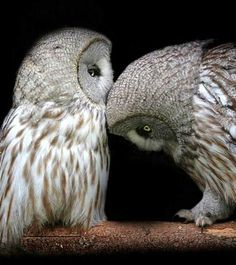 Owl love ❤Most owls hunt at night. although nocturnal feeding is the norm for most owls, some species such as burrowing owls and short-eared owls feed during the day. Still other species, such as pygmy owls, feed at dusk or dawn. Amazing Animals, Animals Beautiful, Cute Animals, Mundo Animal, My Animal, Rapace Diurne, Short Eared Owl, Beautiful Owl, Wise Owl
