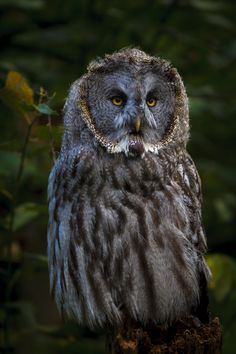 The great grey owl portrait by Per-Anders Nilsson**