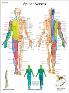 Spinal Nerve, Vagus Nerve, Ectopic Pregnancy, Spinal Stenosis, Pharmacology Nursing, Human Anatomy And Physiology, Reflexology, School Fun, Nervous System
