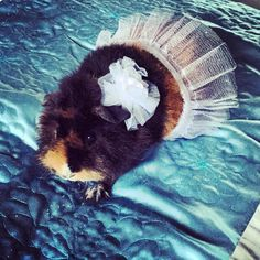 """This is Runty, she's our best friend. She doesn't always wear a #tutu, but this was a special occasion  #guineapig #guineapigsofinstagram"""