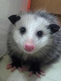 Opossum in the pink with the pinkest little pink nose in the world of pink noses.